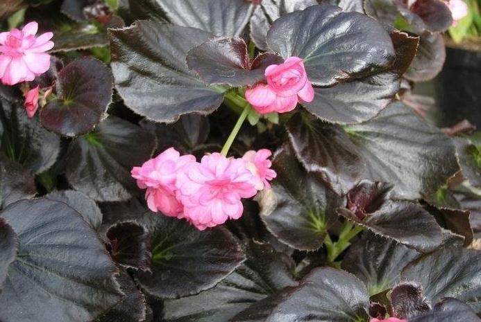 Бегония вечноцветущая Begonia x semperflorens-cultorum