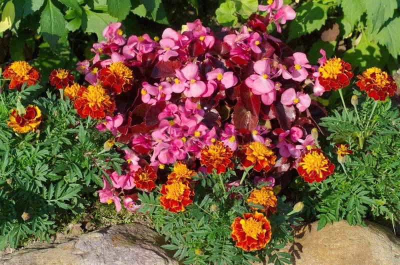 Бегония вечноцветущая фото цветов в саду