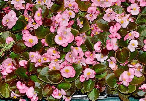 Бегония вечноцветущая сорт Найтлайф роуз фото