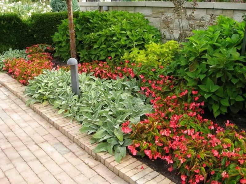 Бегония вечноцветущая в дизайне сада фото