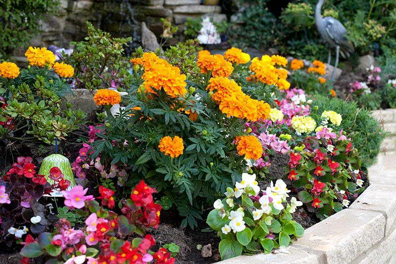 Бегония вечноцветущая в ландшафтном дизайне фото с другими цветами
