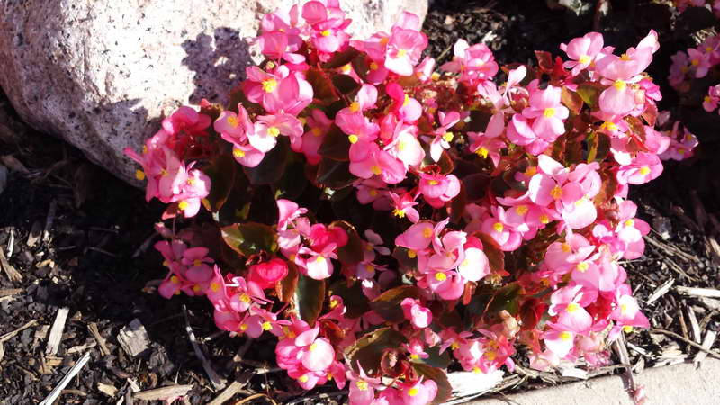 Бегония вечноцветущая в саду фото