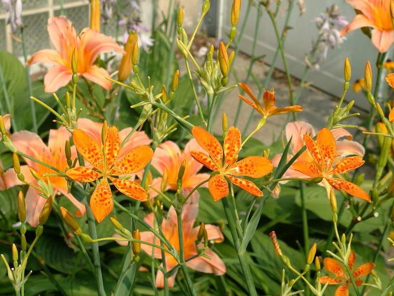Беламканда в саду фото цветов