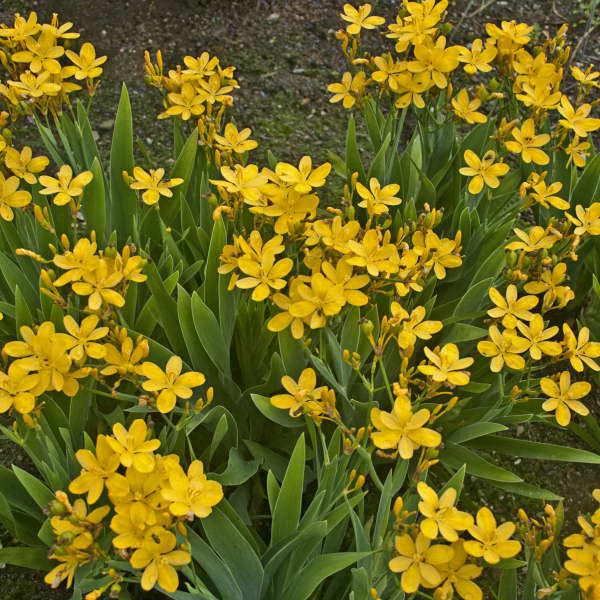 Беламканда желтая сорт Belamcanda chinensis 'Hello Yellow' фото