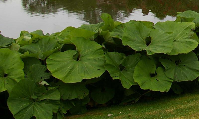Белокопытник растения для водоемов фото