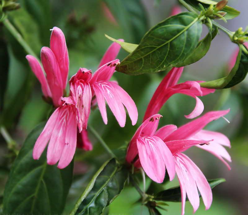 Белопероне свинчатниколистная Вeloperone plumbaginifolia фото
