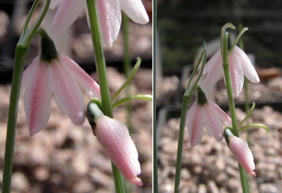 Белоцветник розовый Leucojum Roseum фото