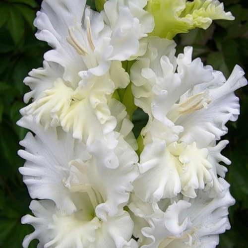 Белый гладиолус Снегурочка фото цветов