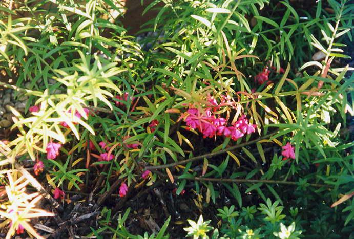 Бересклет карликовый Euonymus nanus фото