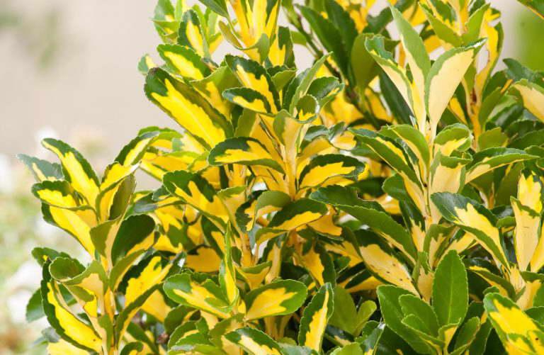 Бересклет японский или псевдолавр Euonymus japonica Luna фото
