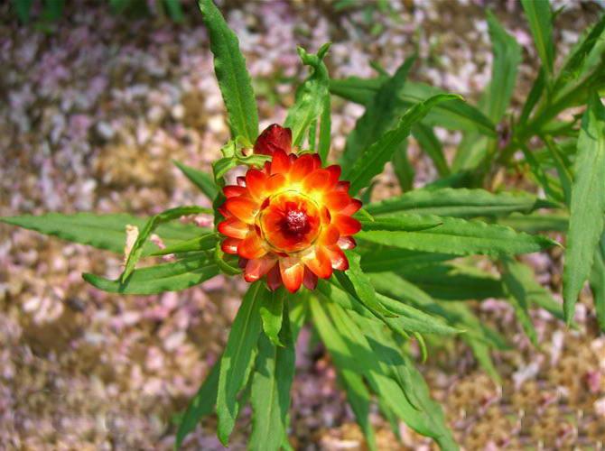 Бессмертник однолетний выращивание и уход фото