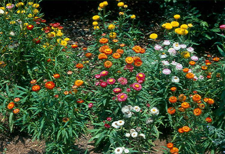Бессмертник цветок в ландшафтном дизайне фото