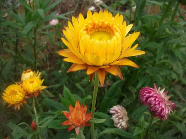 Бессмертник цветы посадка и уход фото