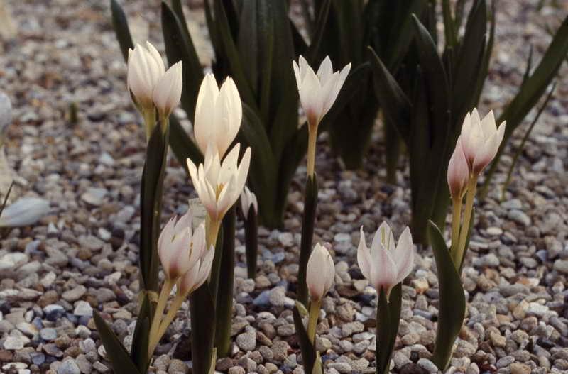 Безвременник Регеля или Кессельринга Colchicum regelii, Colchicum kesselringii фото цветов