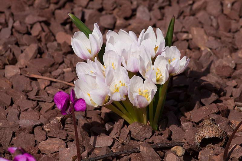 Безвременник двулистный Colchicum bifolium фото цветов
