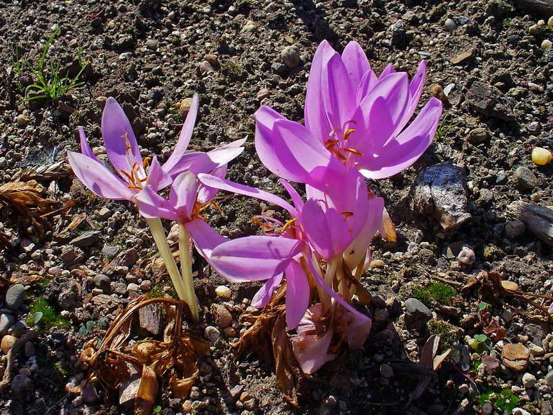Безвременник осенний Colchicum autumnale var. minus autumnale var. minor фото