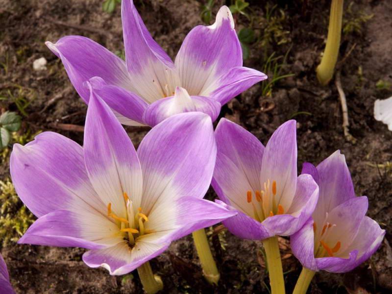 Безвременник великолепный Colchicum speciosum фото