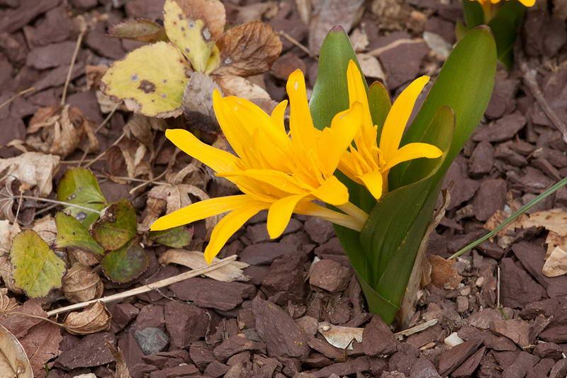 Безвременник желтый Colchicum luteum фото цветов