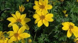 Биденс ферулелистная сорт Bidens ferulifolia 'Yellow Charm' фото цветов
