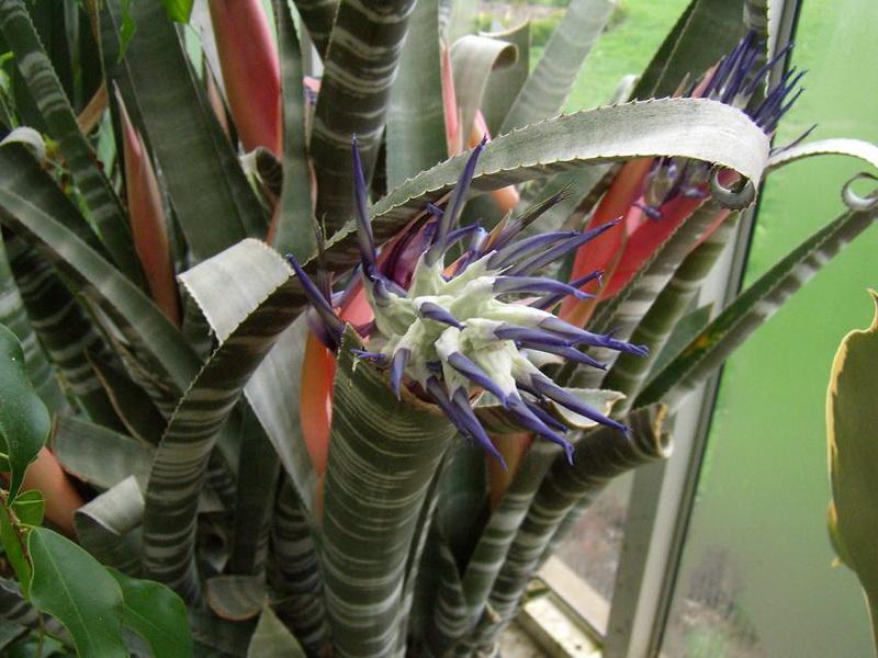 Бильбергия зебровая Billbergia zebrina фото
