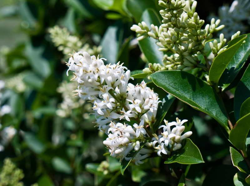 Бирючина иезская Ligustrum yezoense фото