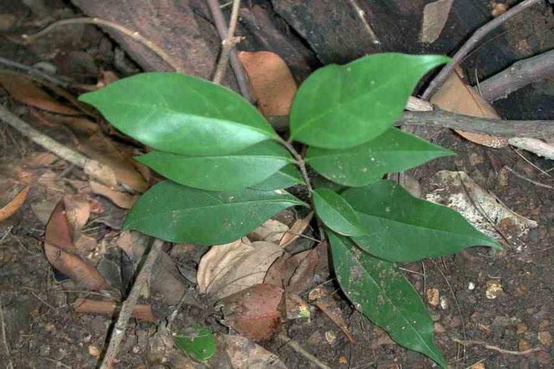 Бирючина из семян фото сеянца