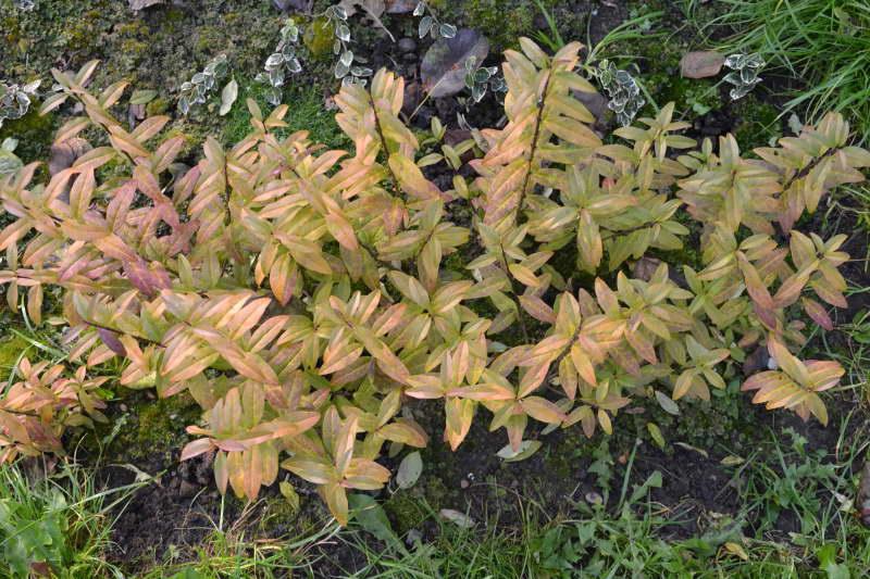 Бирючина обыкновенная Ауреум Ligustrum vulgare 'Aureum' фото