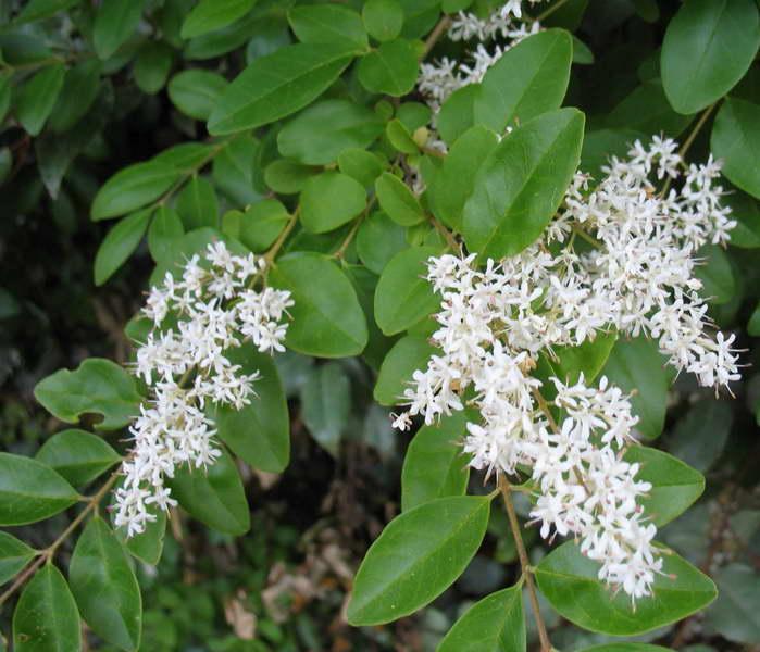 Бирючина японская Ligustrum japonicum фото