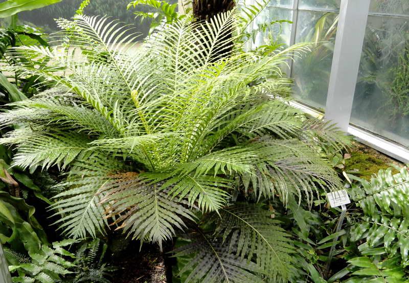 Блехнум бразильский Blechnum brasiliense фото