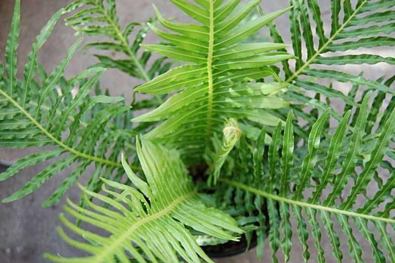 Блехнум горбатый комнатные растения фото