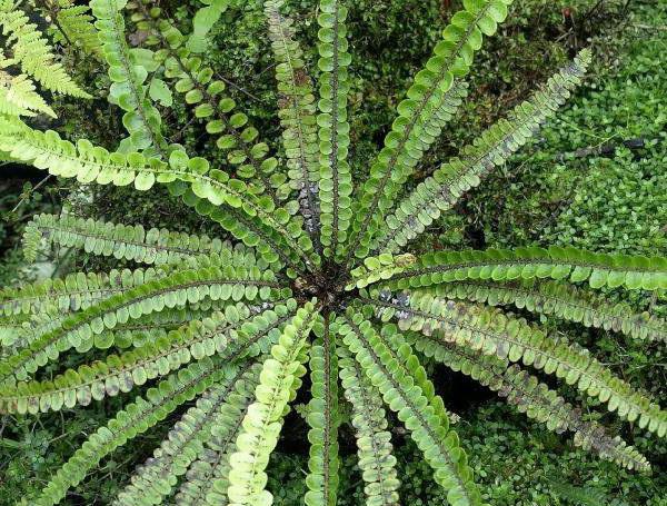 Блехнум речной Blechnum fluviatile фото