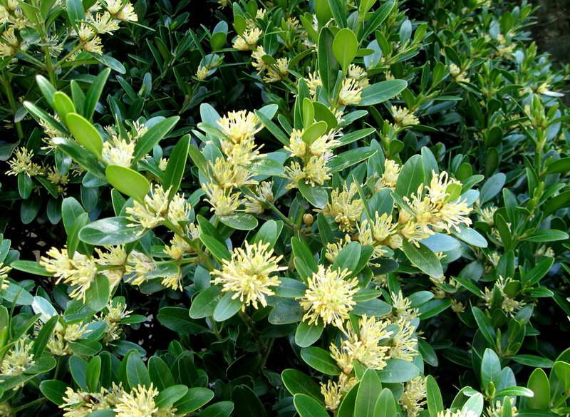 Болеарский самшит Buxus balearica Как цветет самшит фото