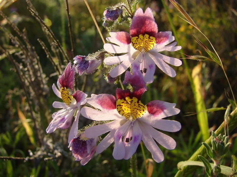 Болезни и вредители схизантуса фото цветов в саду