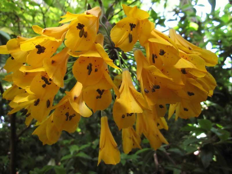 Бомарея желтая фото