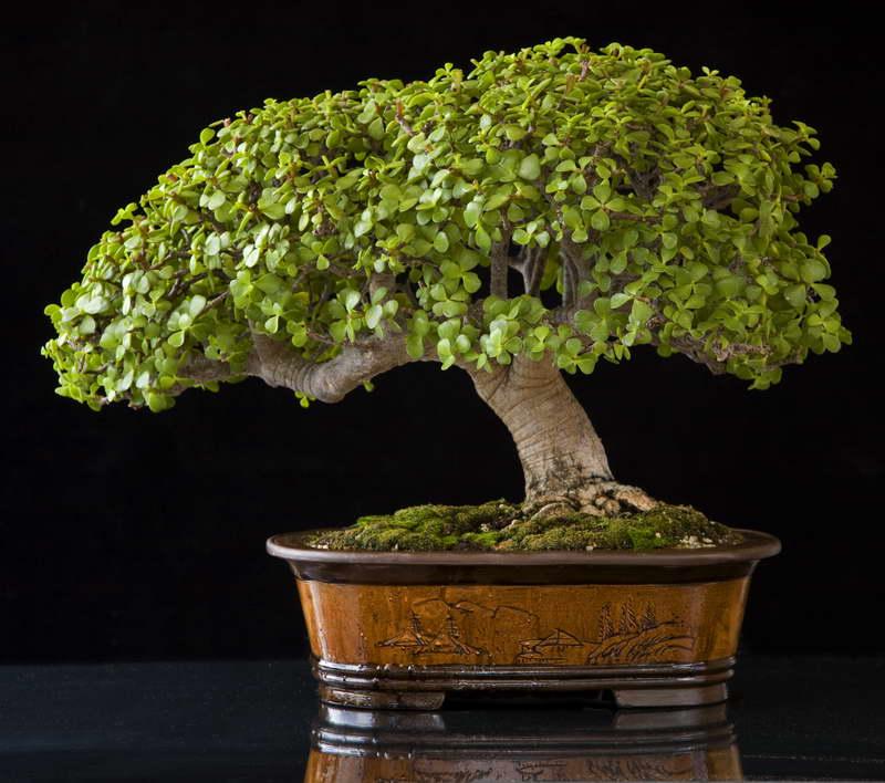 Бонсай из денежного дерева как формировать крону фото