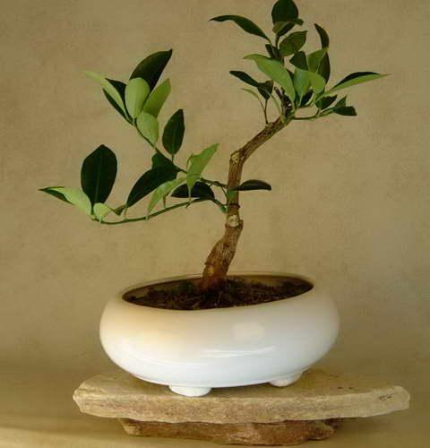 Бонсай из каламондина домашнего мандарина фото