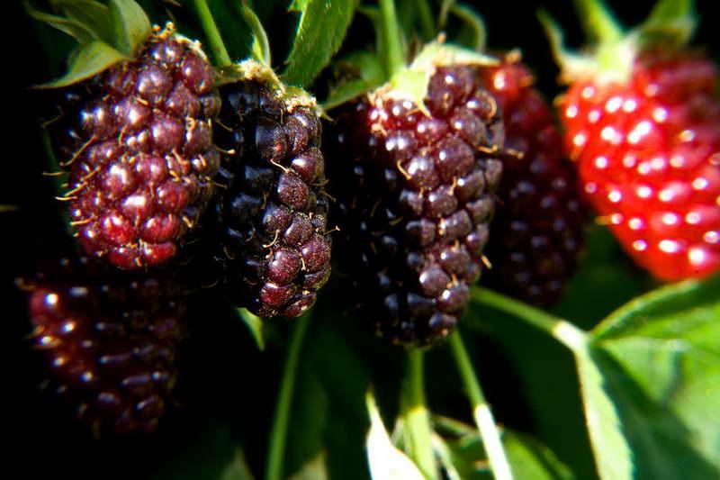 Бойзеновы ягоды фото