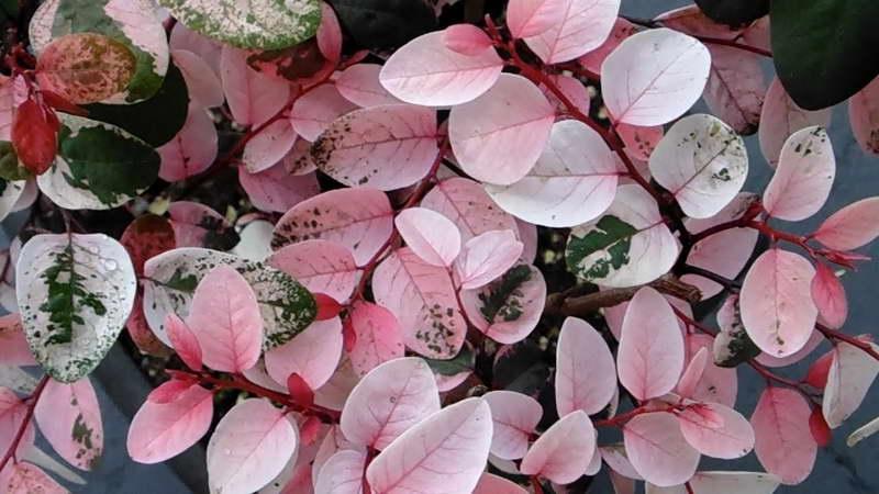 Брейния розовоцветная Breynia roseopicta фото