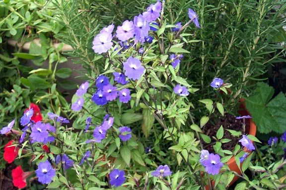 Броваллия американская Browallia americana фото