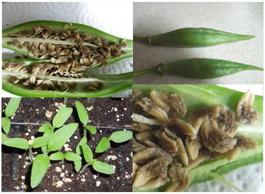 Бругмансия из семян фото семян и всходов