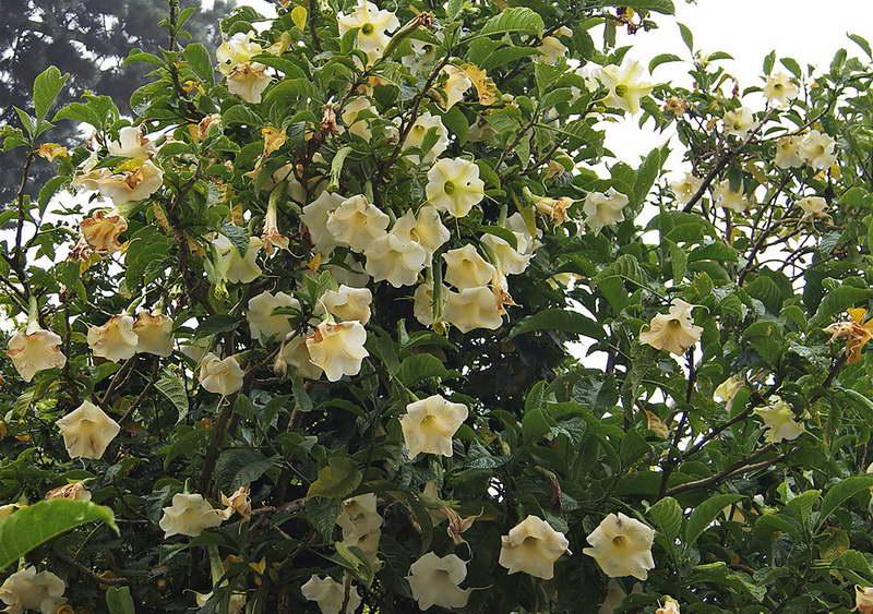 Бругмансия заметная Brugmansia Insignis фото