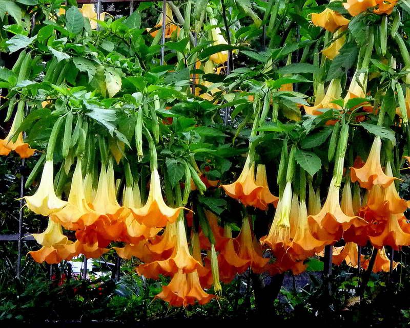 Бругмансия золотистая Brugmansia aurea фото