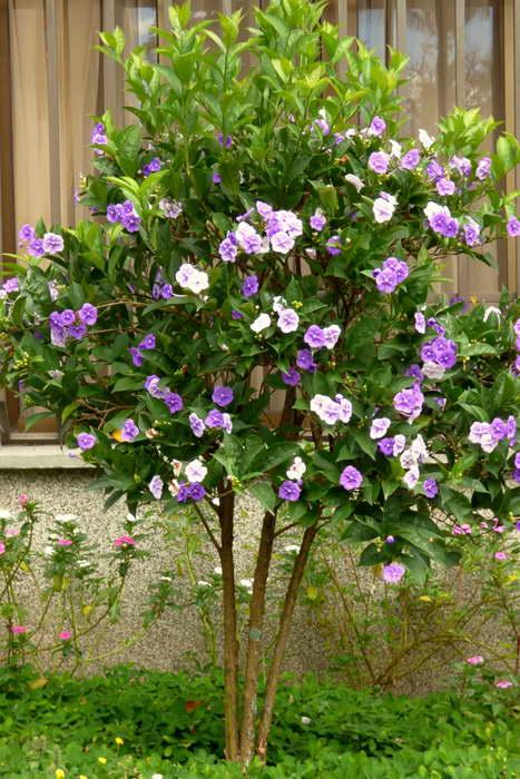 Брунфельсия крупноцветковая или грандифлора Brunfelsia grandiflora фото