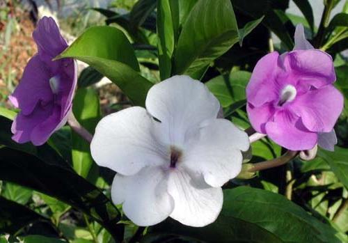 Брунфельсия малоцветковая Экзимия Brunfelsia eximia