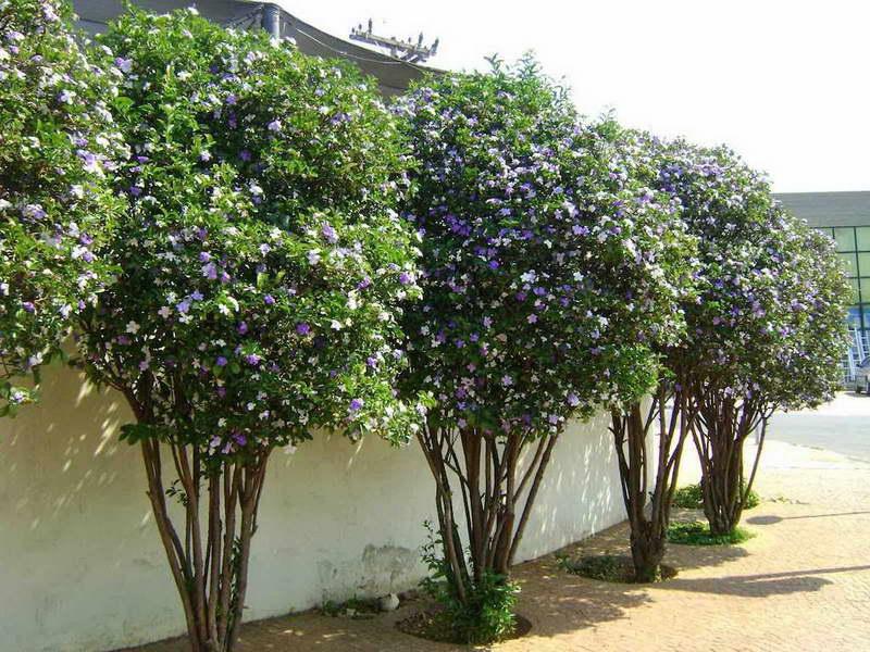 Брунфельсия одноцветковая Brunfelsia uniflora фото