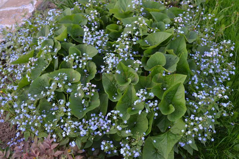 Бруннера сибирская Brunnera sibirica посадка и уход фото цветов в саду