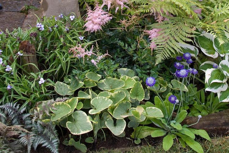 Бруннера в ландшафтном дизайне сада фото с другими растениями Brunnera 'Hadspen Cream' with Hosta, ferns, Astilbe, Athyrium nipponicum var pictum
