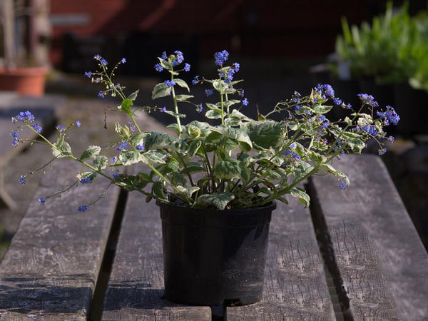 Бруннера вариегата brunnera macrophylla variegata выгонка фото