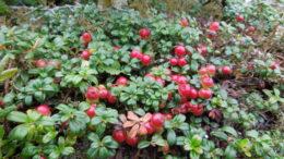 Брусника агротехника выращивания в Подмосковье и средней полосе На фото сорт Red Pearl