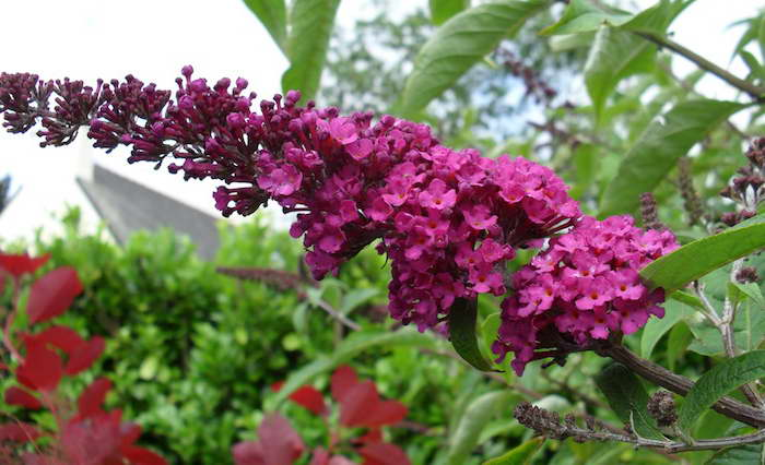 Буддлея Давида Роял Ред Buddleja davidii Royal Red фото